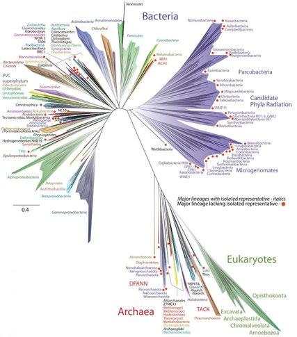 Bacteria tree of life